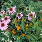 Echinacea and Asclepsias in the garden