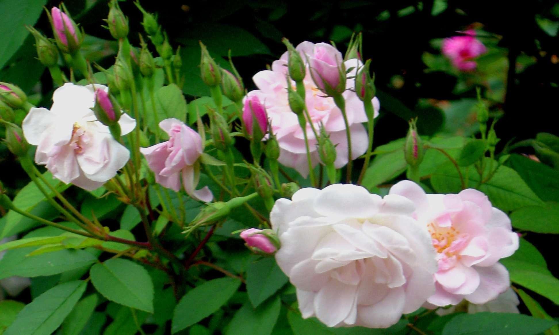 Roses In Garden: Heirloom Roses For Your Ohio Garden