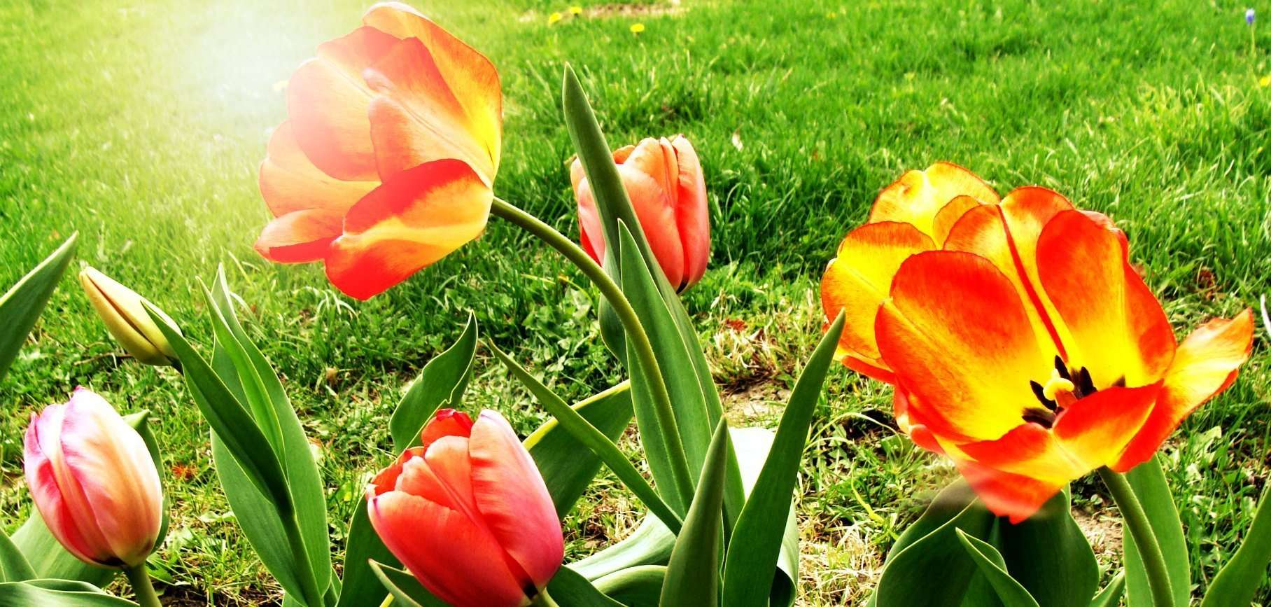 how to take care of tulip bulbs after blooming